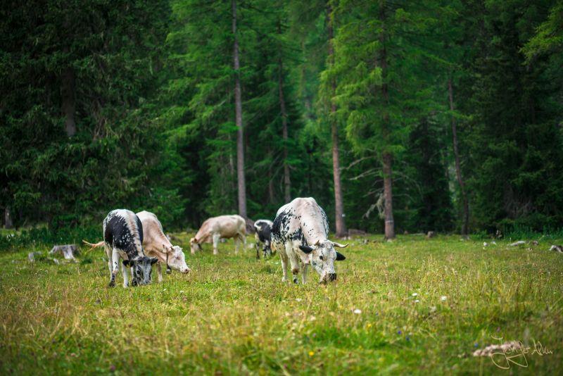 grasende Kühe - Grünwaldalm - Südtirol