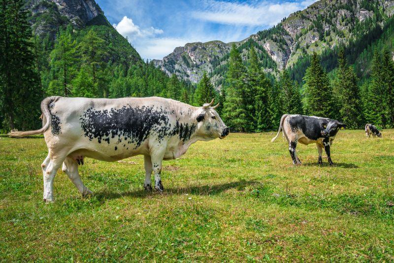 Bergpanorama - grasende Kühe - Grünwaldalm - Südtirol
