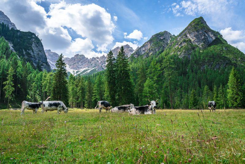 Berglandschaft - grasende Kühe - Grünwaldalm - Südtirol