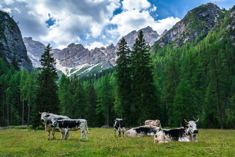 Grasende Kühe an der Grünwaldalm -