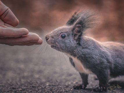 Zahmes Eichhörnche frisst aus der Hand - Westfriedhof Nürnberg