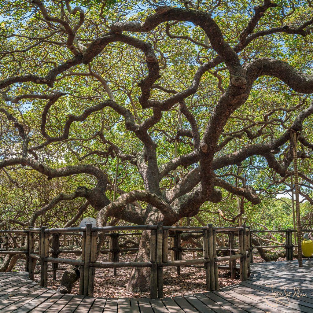 Der Hauptstamm vom größten Cashewbaum der Welt (Natal / Brasilien)