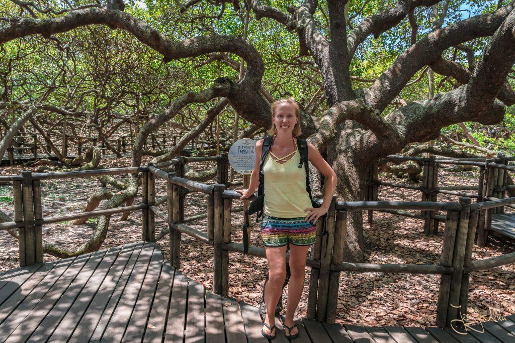 Besuch des größten Cashewbaums der Welt
