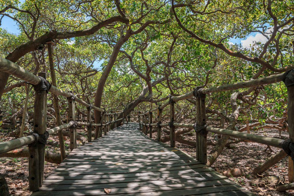 Gehweg durch die Ausläufer des größten Cashewbaums der Welt (Natal / Brasilien)